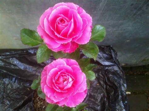 Tanaman Mawar Pink Carousel tanaman mawar floribunda pink bibitbunga