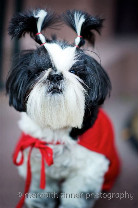 spell shih tzu 17 best images about i my shih tzu on westminster show pet
