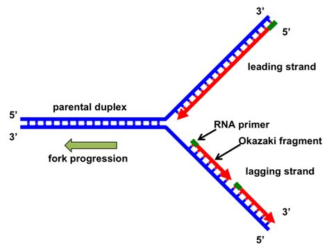 section 10 3 review dna replication genes free full text the replication fork