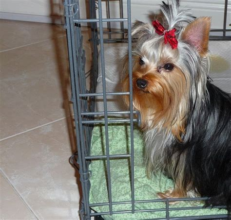 are yorkies easy to potty 17 best images about puppy apartment reviews on potty new