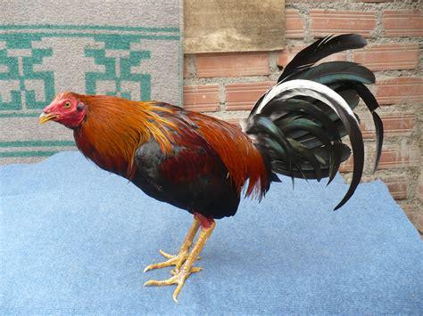 peleas de gallos el tope ver galeria de fotos de gallos de pelea del mundo