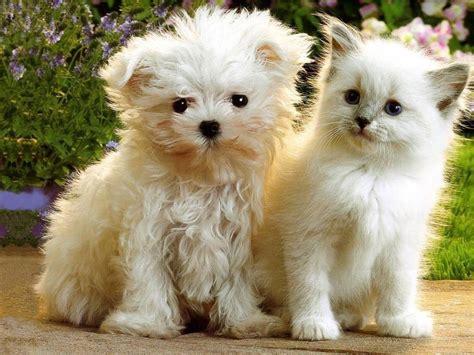 puppy or kitten kittens puppies teddybear64 wallpaper 16751391 fanpop