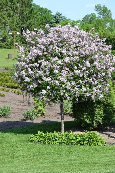 decorative trees decorative small trees for landscaping