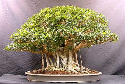 bonzi tree get much information bonsai trees plants
