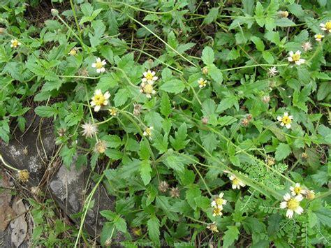 Obat Herbal Black Cummin 40 jenis tanaman obat keluarga dan manfaatnya