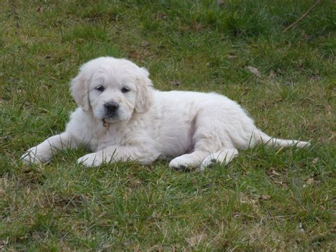 golden retriever puppies for sale in northern ireland setter and golden retriever puppies images