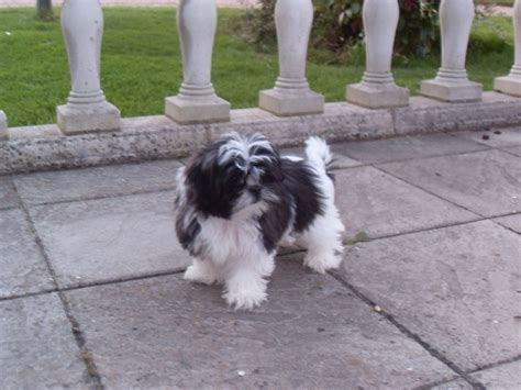 maltese cross with shih tzu maltese cross shih tzu black and white breeds picture