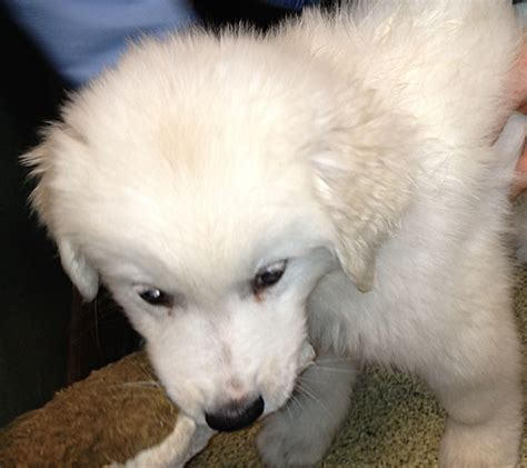 free great pyrenees puppies puppy great pyrenees information for