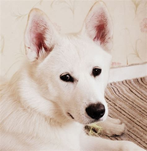 pet dogs and puppies for sale in walsall west midlands adverts white siberian husky walsall west midlands pets4homes