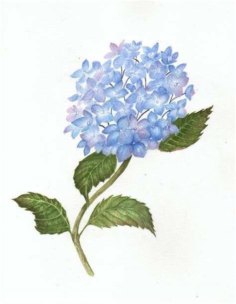 blue hydrangea painting by elaine f thompson