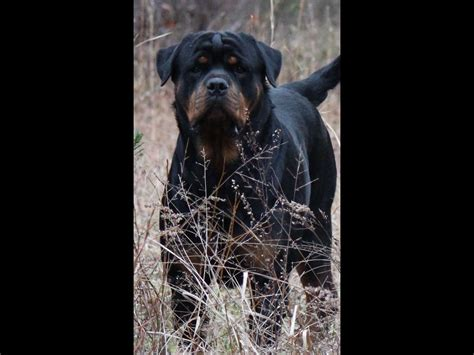 rottweiler puppies nc silverhill rottweilers breeders kenly nc