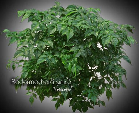china doll house plant tropicopia online house plant picture of other radermachera sinica china doll