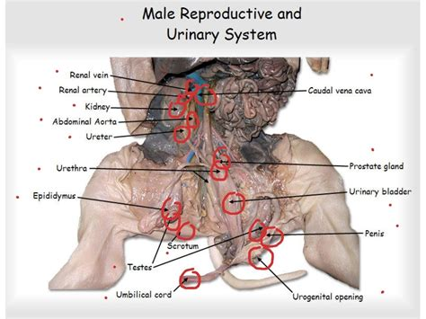 fetal pig diagram answers fetal pig dissection reproductive system fetal pig