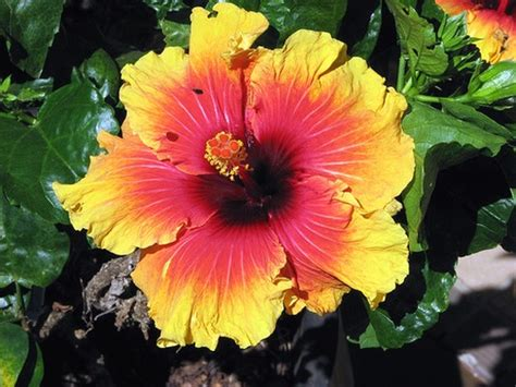 hawaiian yellow hibiscus orange yellow hibiscus orange yellow hibiscus flower with black eye
