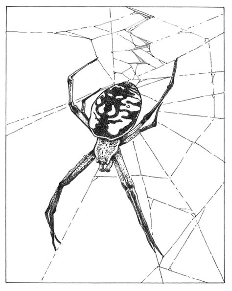 Garden Spider Coloring Page Pacific Horticulture Society Garden Allies Spinning