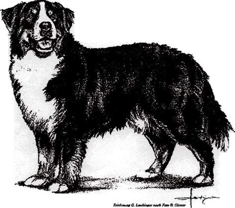 coloring pages of bernese mountain dogs bernese mountain dog coloring download bernese mountain