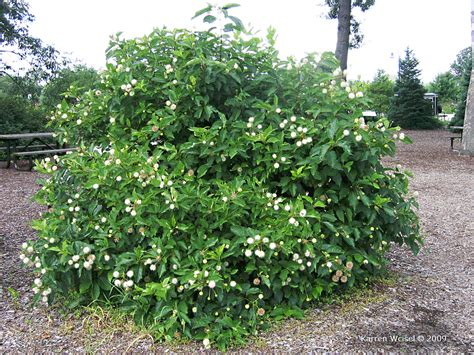 3 native flowering shrubs to replace butterfly bush