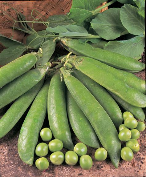 Pea Delivery Buy Pea Pisum Sativum Early Onward Pea Early Onward