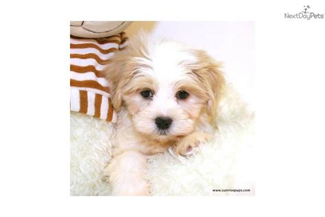 maltipoo puppies ohio maltipoo puppies for sale in ohio buy or adopt a puppy malti poo maltipoo puppy for