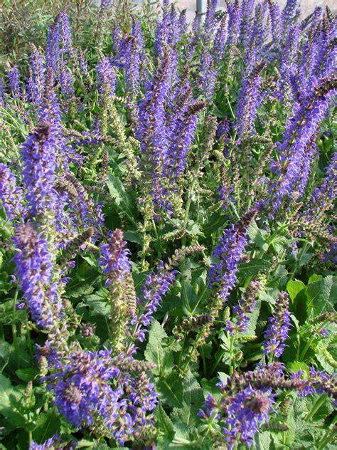 plant profile salvia may night