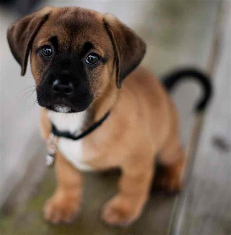 pug puggle mix puggle designer breed pug beagle mix information