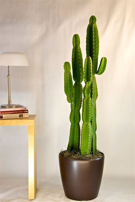 cactus interior cactus candelabra tree houston interior plants nuvo
