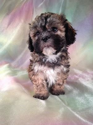 puppy for sale in ma gallery for gt teddy puppies