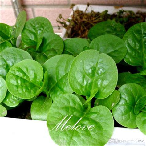seeds dwarf malabar spinach big leaf variety diy