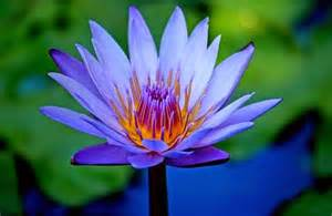 Blue Lotus Blue Lotus The Entheogen Of Ancient Waking Times