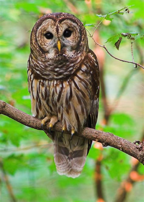 the catskill cabin barred owl