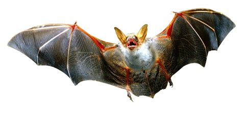 transparent background bat png www pixshark com images galleries with a bite