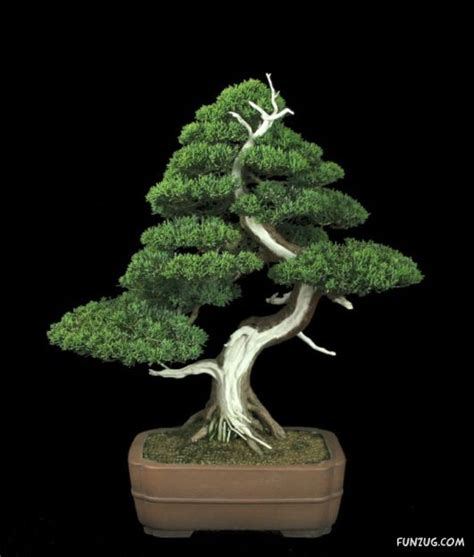 awesome japanese bonsai trees funzug com
