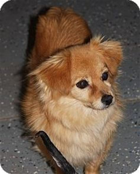 dachshund pomeranian mix puppies for sale pomeranian mix puppies pomeranian mix and puppies for sale on