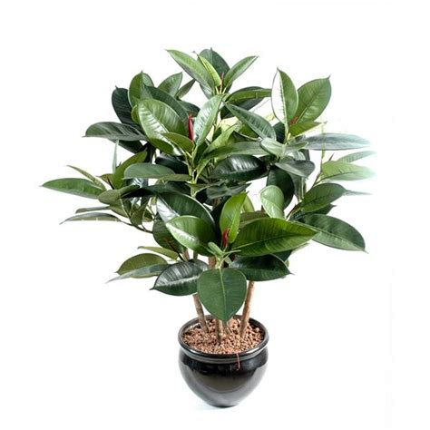 ficus elastica 156 best images about ficus elastica on pinterest trees