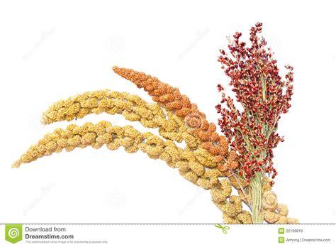 miglio alimento miglio e sorgo immagine stock immagine di bianco
