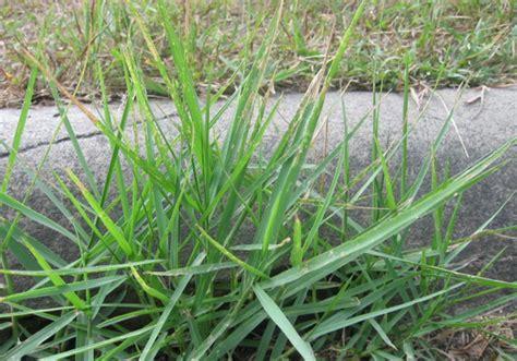 Obat Rumput rumput teki cyperus rotundus l sebagai obat
