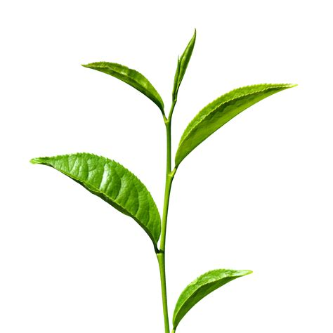 best leaf tea tea leaf clipart best