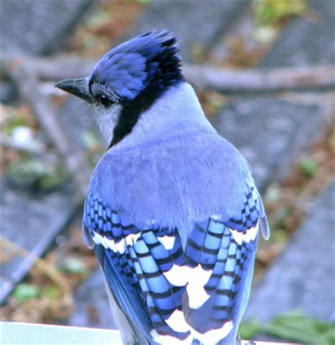 blue jay pattern blue jay great feather pattern bird brain pinterest