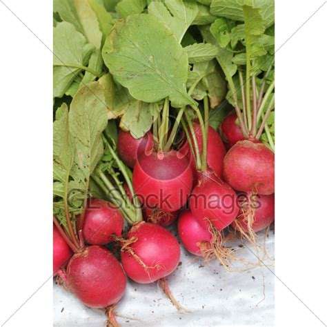 pungent root vegetable fresh pink colored radish heap 183 gl stock images