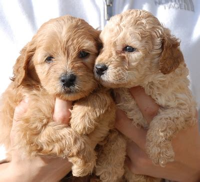 labradoodle puppies mn miniature labradoodle dallas labradoodle mn