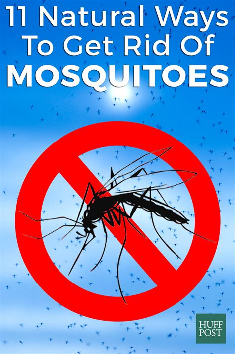 How To Get Rid Of Mosquitoes | plants that keep the mosquitoes away everything about garden