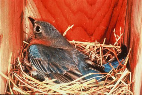 nesting birds backyard bird lover