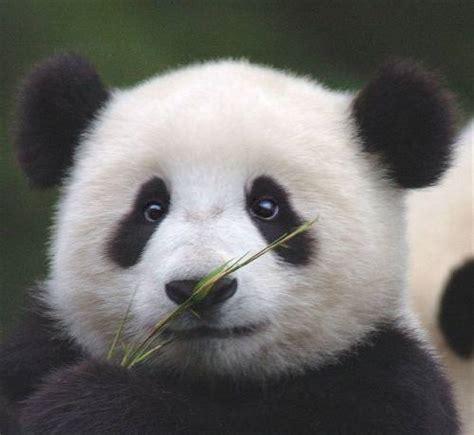 Panda Lucu foto gambar panda lucu 13 lu kecil