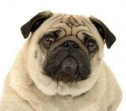 pug virus flu does your need the new vaccine truth4dogs