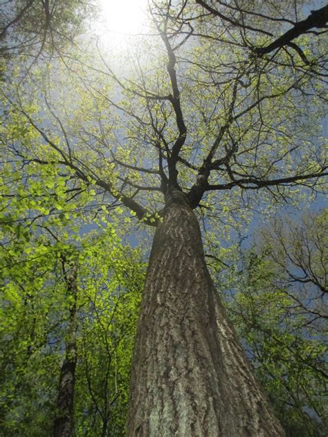 pictures of trees witness tree harvard forest