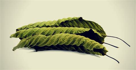 Outpatient Detox Kratom by What Is Kratom Kratom Addiction Effects Withdrawal