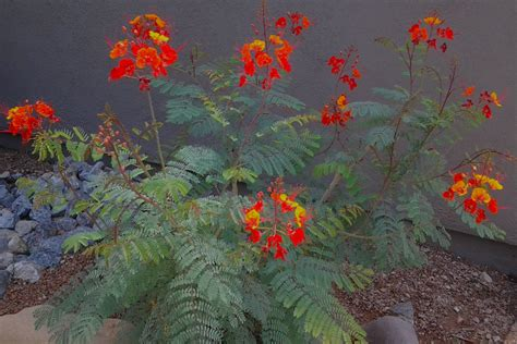 desert flowering shrubs desert bush with yellow flowers images