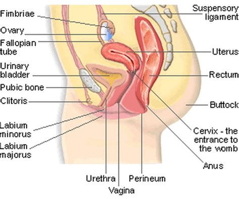 diagram hymen reproductive system family and sexual health