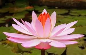 Lotus Plant Care Bring Knowledge Prosperity By Keeping Lotus Plant At