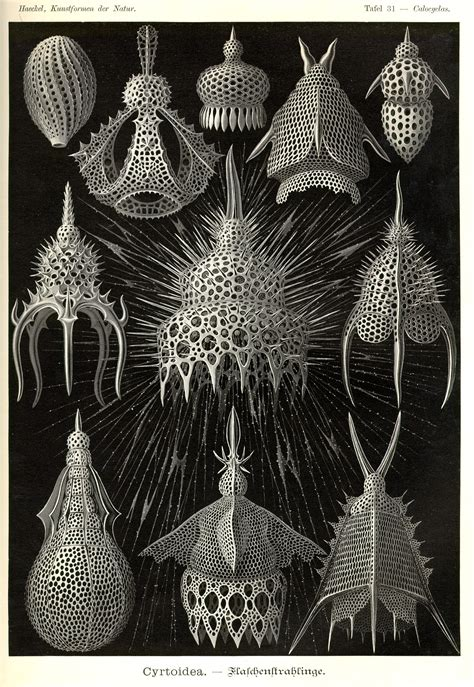 the and science of ernst haeckel multilingual edition books ernst haeckel kunstformen der natur tafel 31